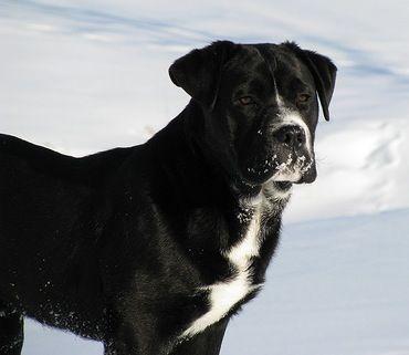 English Bulldog Lab Mix Bullador Dog Breeds Pictures Dogs