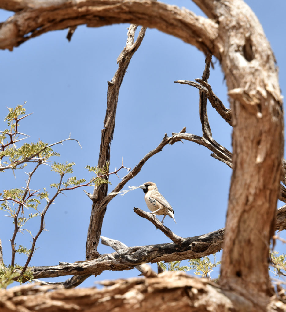 Sociable Weaver Birds and Their Nest - Story at Every Corner