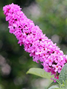 Buddleia Pink Micro Chip Bluestone Perennials Butterfly Bush Fragrant Flowers Buddleia Plant