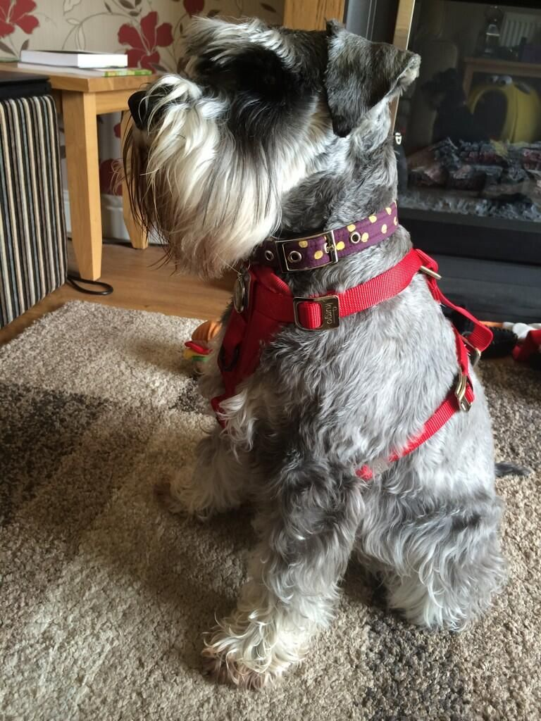 Miniature schnauzer puppy harness