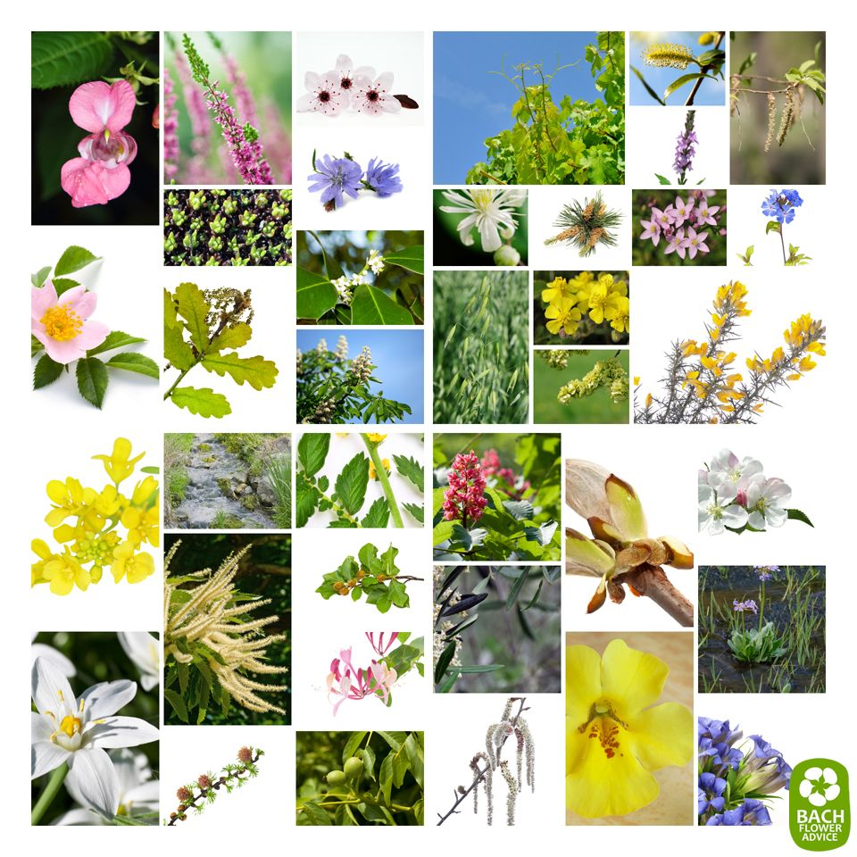 There Are 38 Bach Flower Essences For Balancing The Mind And Body Bach Flowers Bach Flower Remedies Flower Essences