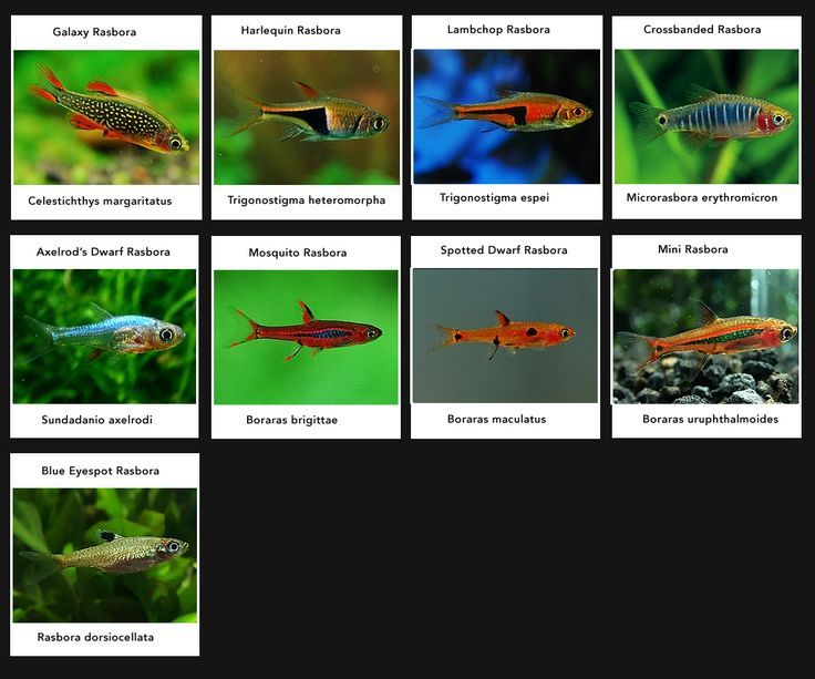 Rasbora varieties colourful peaceful community fish for Community fish tank