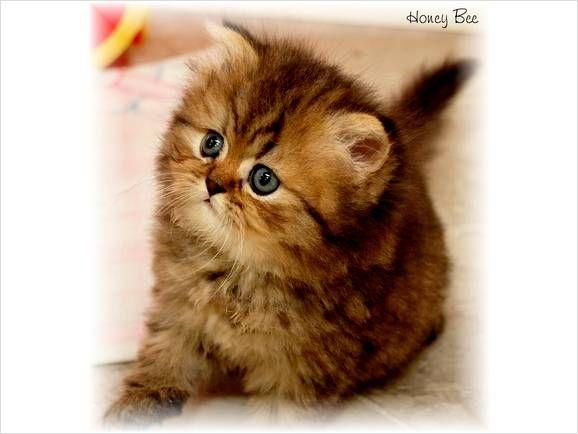 Teacup Persian Kittens For Sale Bardstown Kentucky Teacup