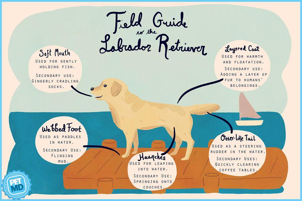 Labrador Retriever Field Guide Labrador Retriever Labrador Labrador Puppies For Sale