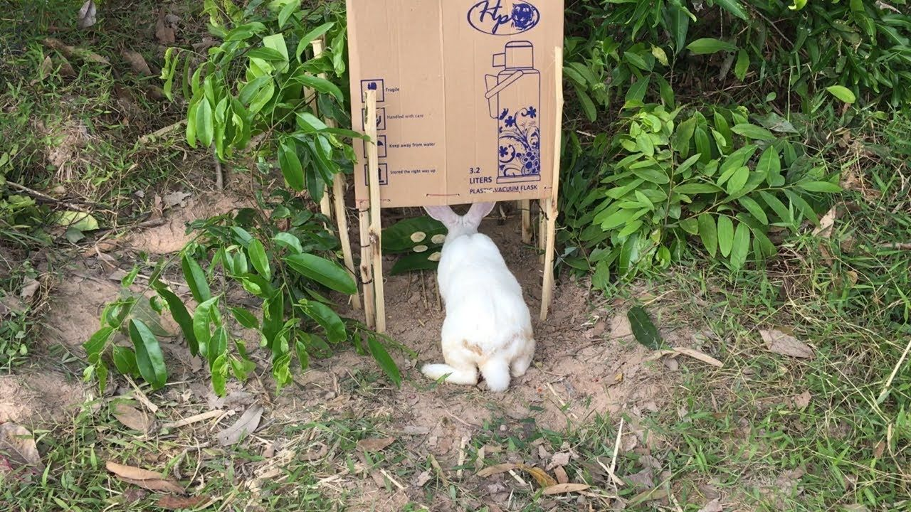How to make a rabbit trap with creative and simple ideas