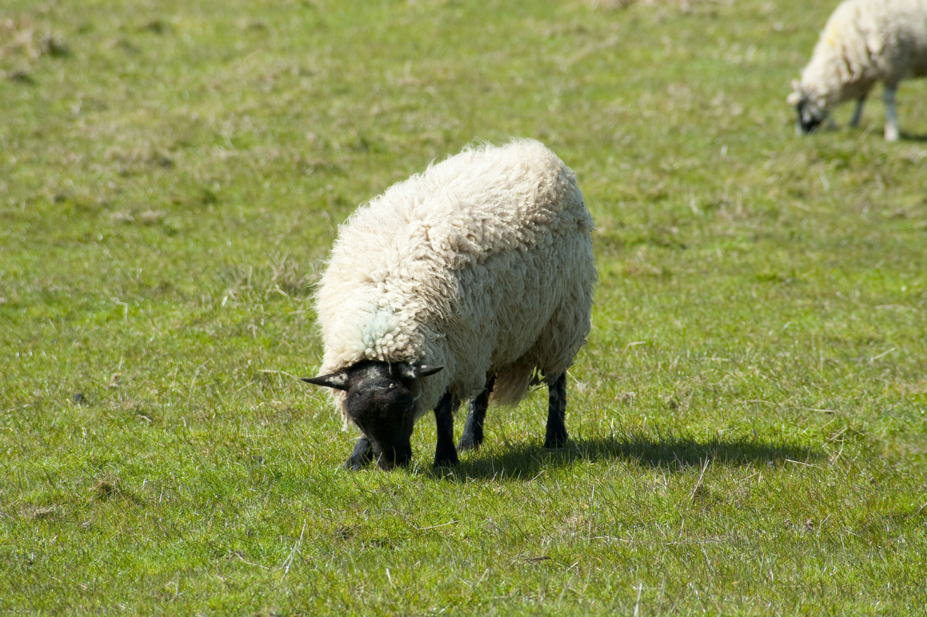 Image Result For Sheep Grazing Front View With Images