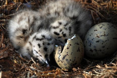 Polluelos de gaviota - Objetivo Cádiz  Baby seagulls <3