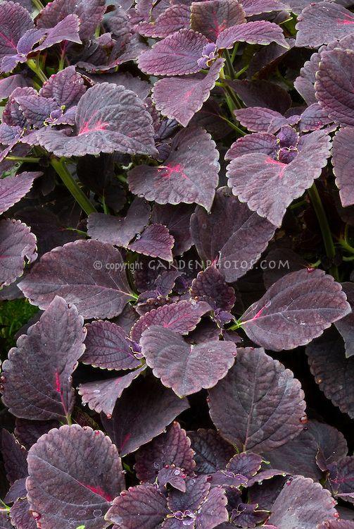 Dark Purple Leaf Plants Solenostemon Coleus Black Prince