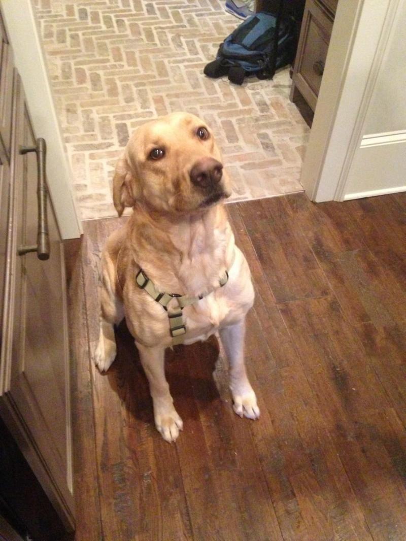 Adopt Daisy Mae On Petfinder Yellow Labrador Retriever Dudley Labrador Dogs And Kids