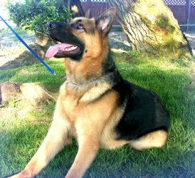 Adopt Oberon Adopted On German Shepherd Dogs Shepherd Dog Dogs