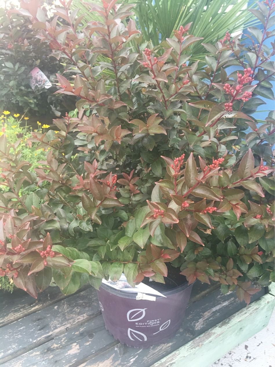 Crepe Myrtle Coral Magic!!! 5 Gallon $29.99. Atlantic Garden Center!