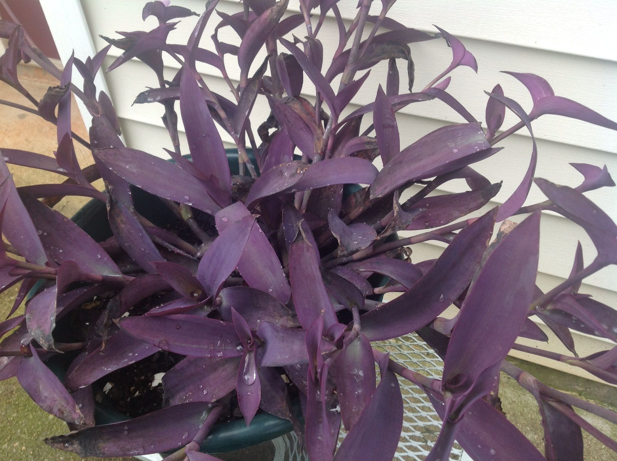 Purple Heart Or Wandering Jew Plant   An Easy To Grow And Propagate Indoor/  Summer Patio Plant  When You Want More, Simply Take A Stem Cutting And Root  It ...