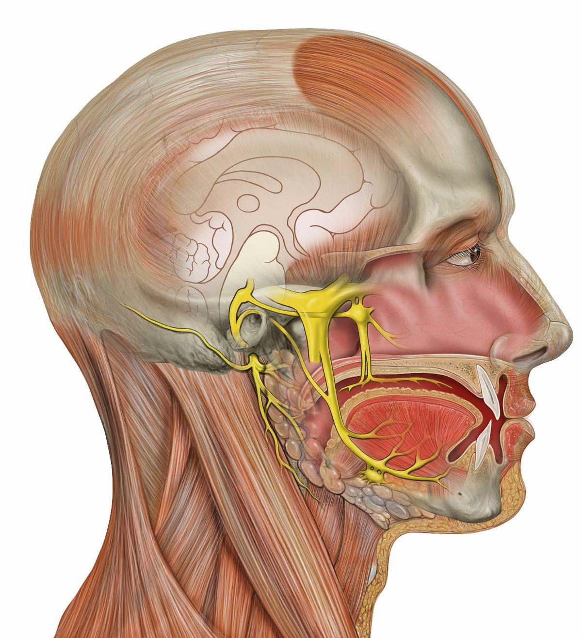 Nervio trigémino - Wikipedia, la enciclopedia libre | Salud ...
