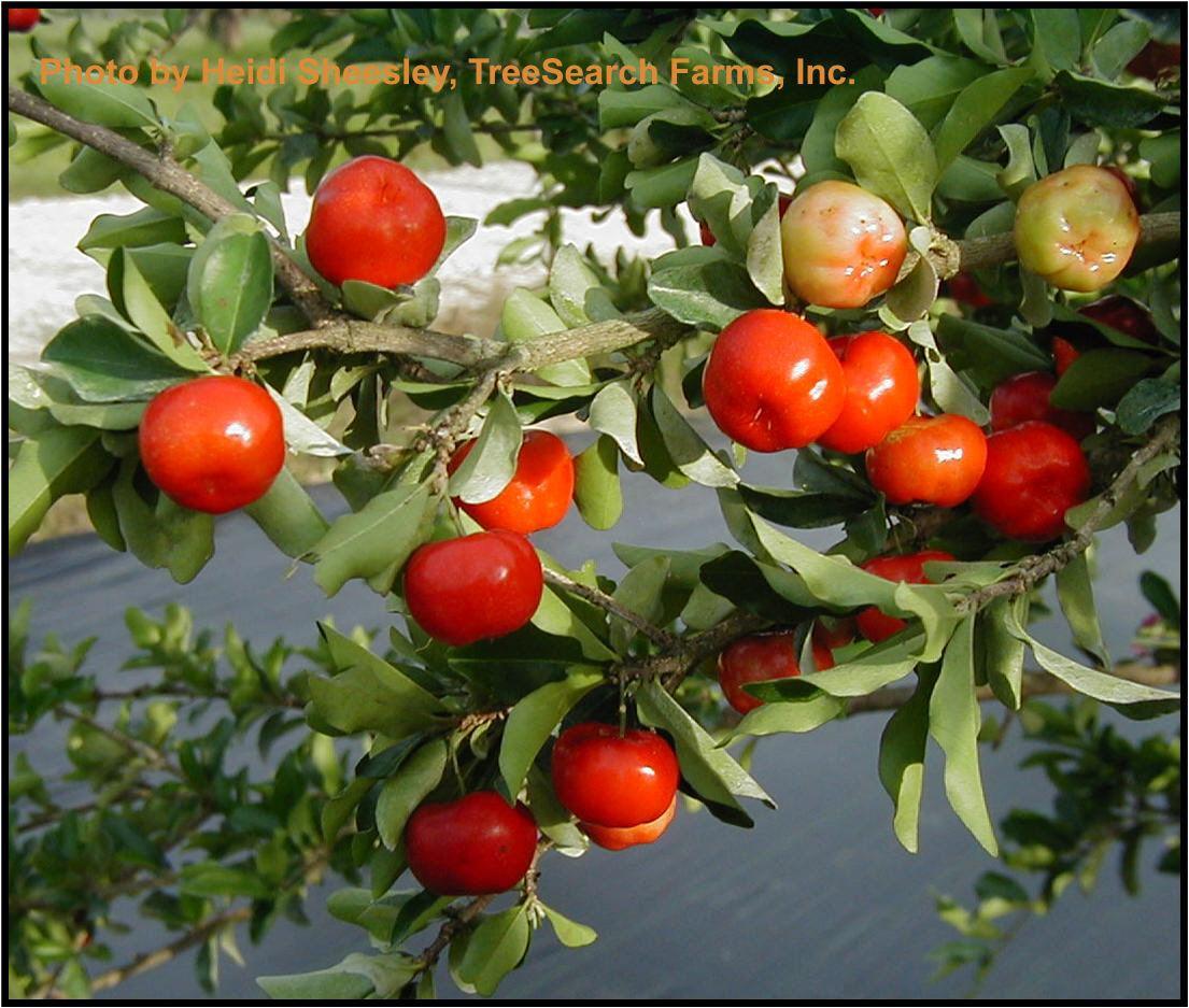 African cherry orange | Fruit | Fruit, Tropical fruits, Fruit, veg