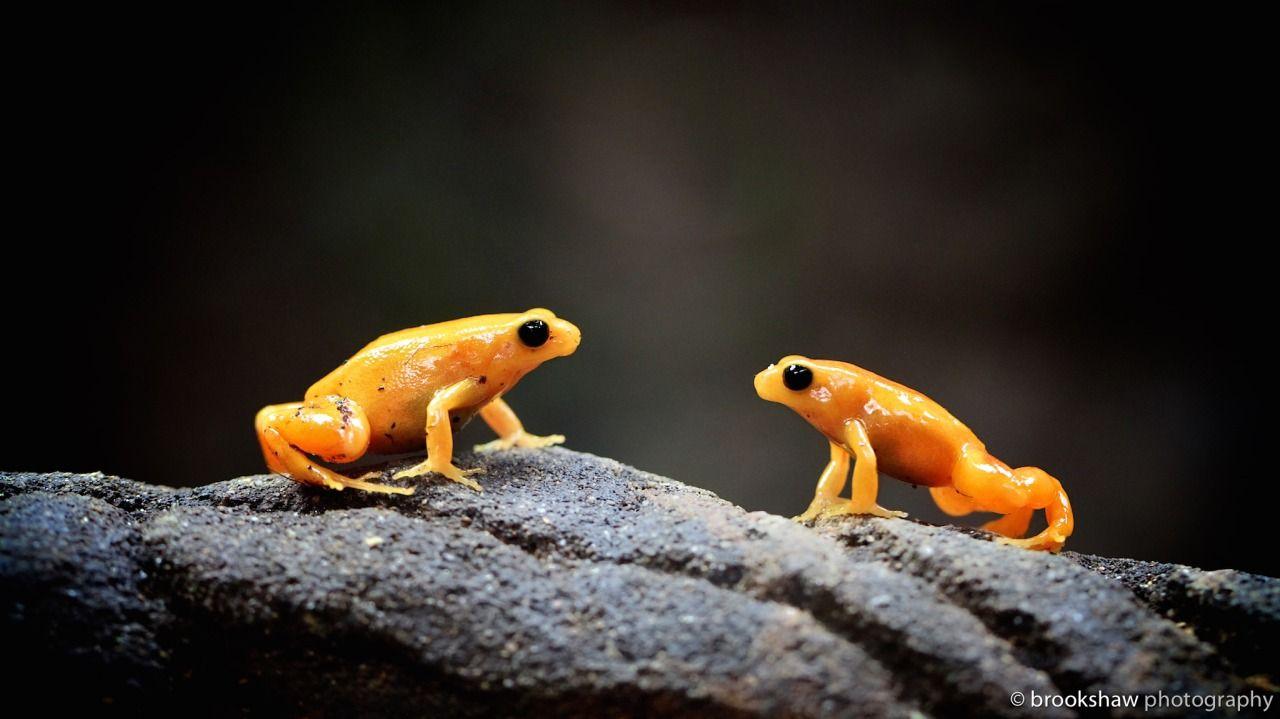 Golden Mantella frogs   Fancy Frogs & Such   Pinterest   Dardos y Ranas