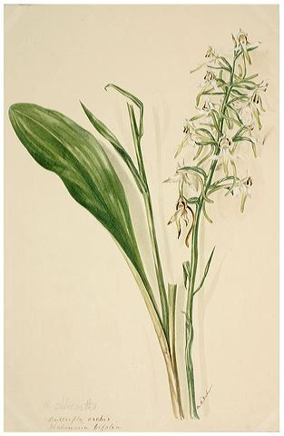 Lesser Butterfly-Orchid (from Margaret Dickinson gallery)