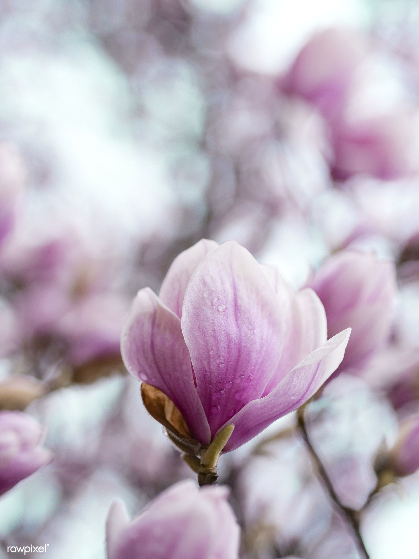 Closeup Of Pink Magnolia Flowers Free Image By Rawpixelcom