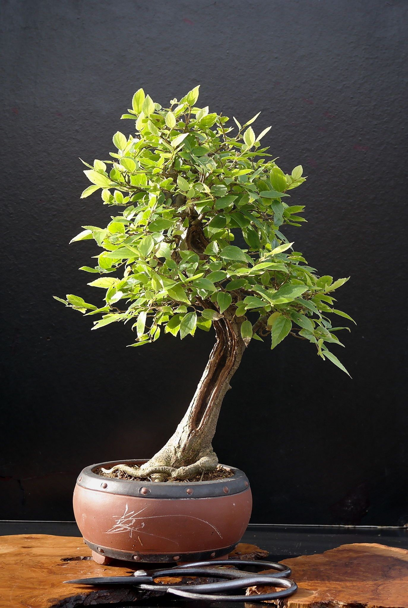 A Guide To Growing Bonsai From Seed Indoor Bonsai Tree Bonsai Tree Care Bonsai Tree Types