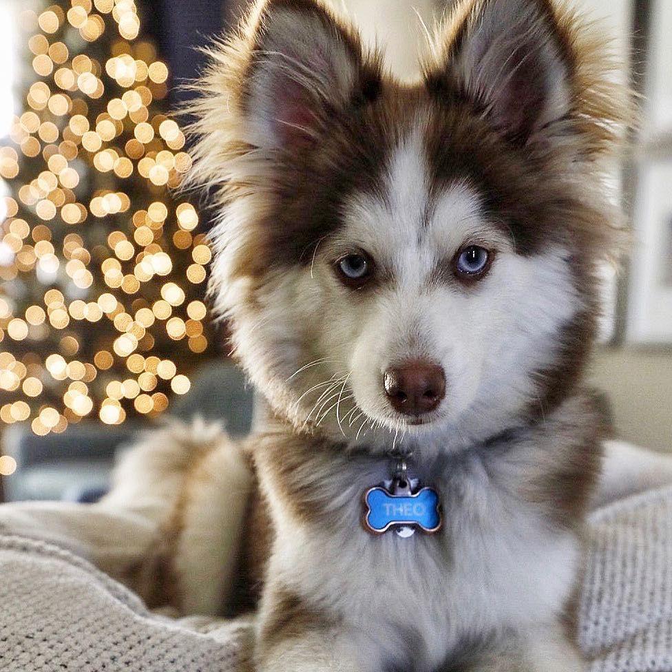 Do Pomsky Shed Yes Or No Pomsky Pomsky Puppies Pomeranian Husky
