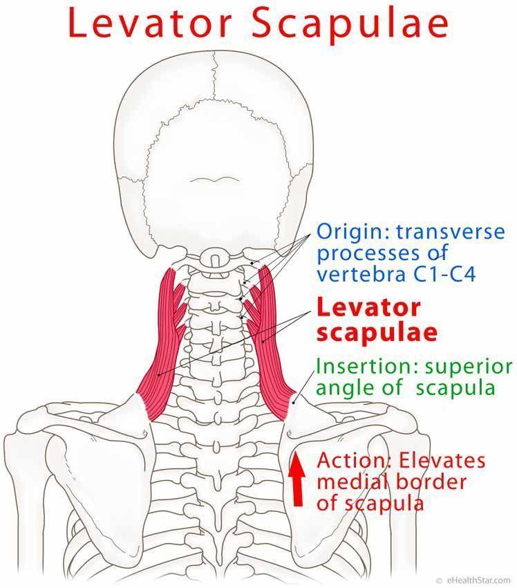 Levator scapulae origin, insertion, action, trigger points, test on ...