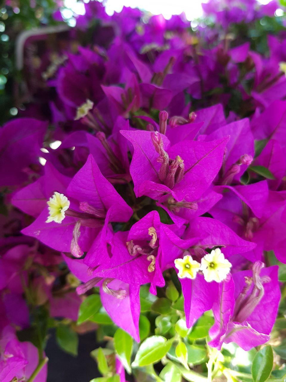 Tolle Gartengestaltung Mit Bougainvillea Bougainvillea Buxbaum Olivenbaum Olive Lavendel Entspannung Mediterran Ga Bougainvillea Garten Design Pflanzen
