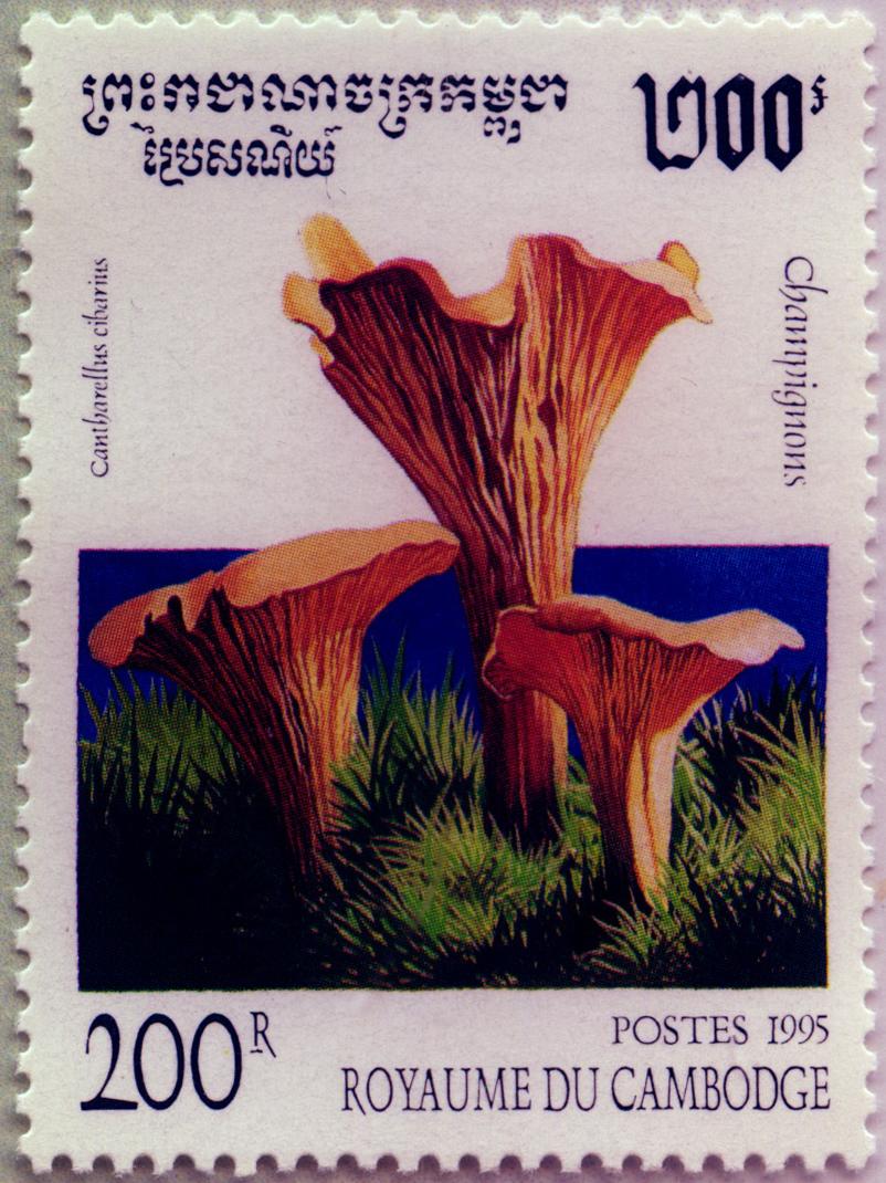 Cantharellus cibarius, Camboya