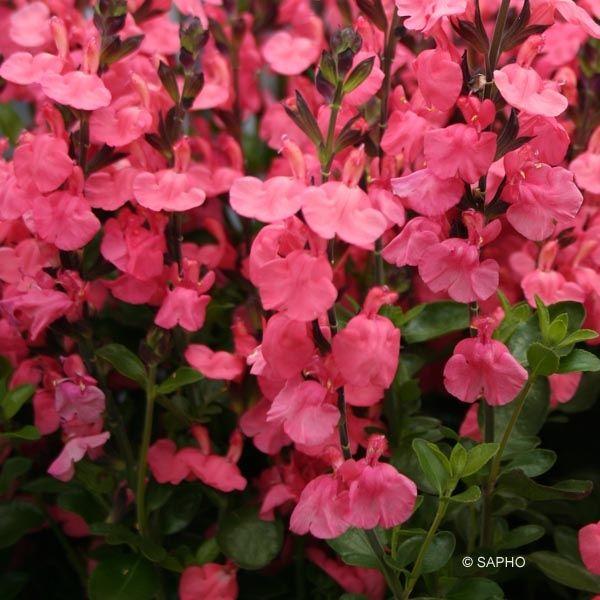 Sauge - Salvia jamensis Pluenn