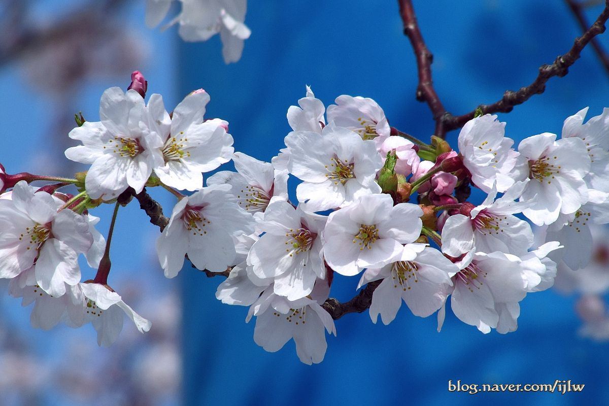 10 Festival Musim Semi Paling Indah Di Korea Flower Art Sakura Cherry Blossom Wallpapers Aesthetic