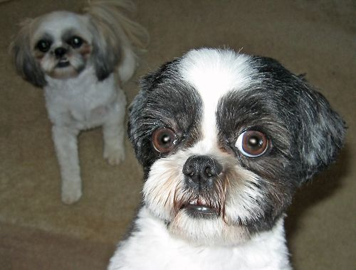 This is Chippy one of our Shih Tuz… he was born without a tail and five adoptions fell through for him… as we already had his sister Summer we brought him home with us