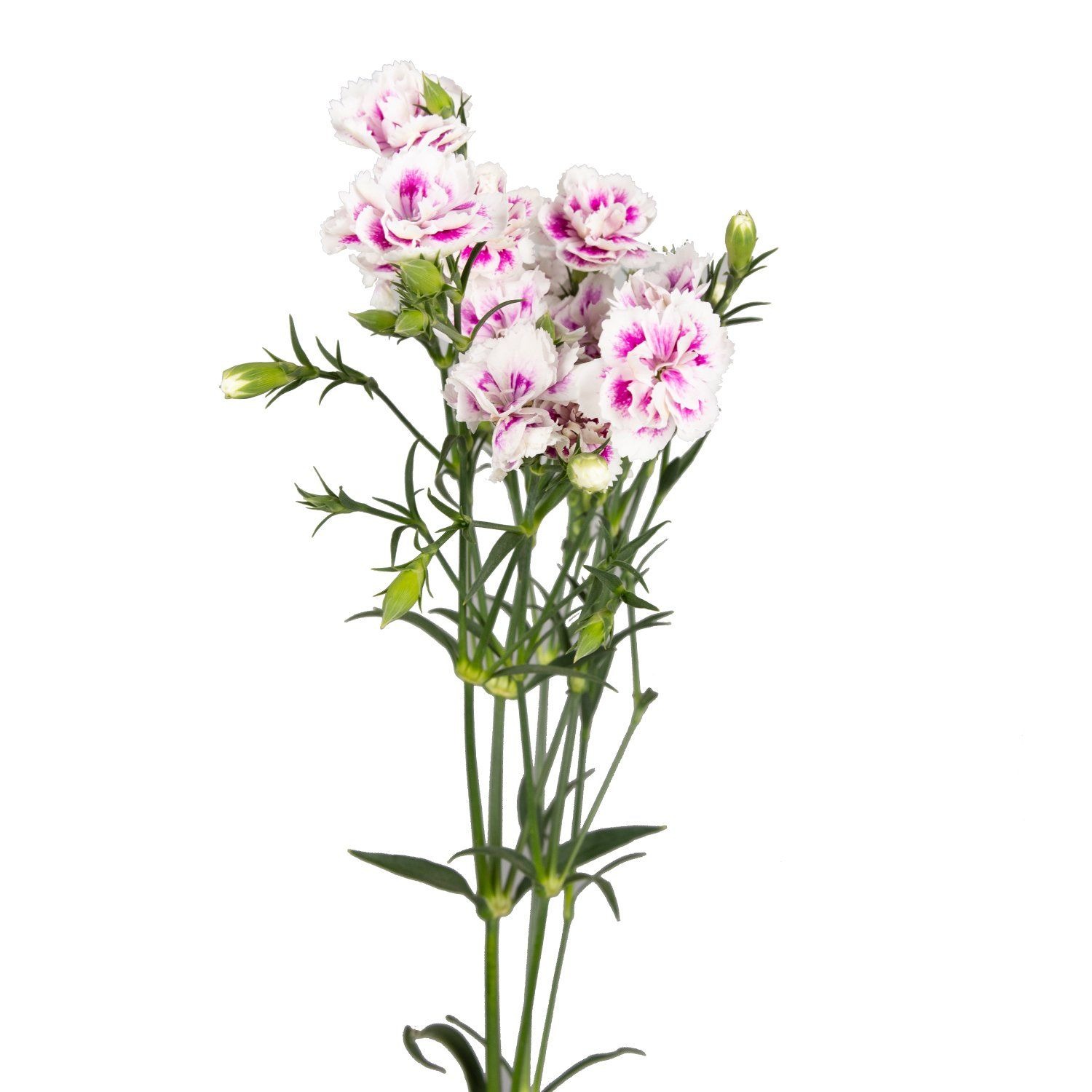 Rafines Are A Part Of The Dianthus Family And Resemble Micro Carnations They Have An Extremely Long Vase Life With Proper Care Long Vases Carnations Flowers