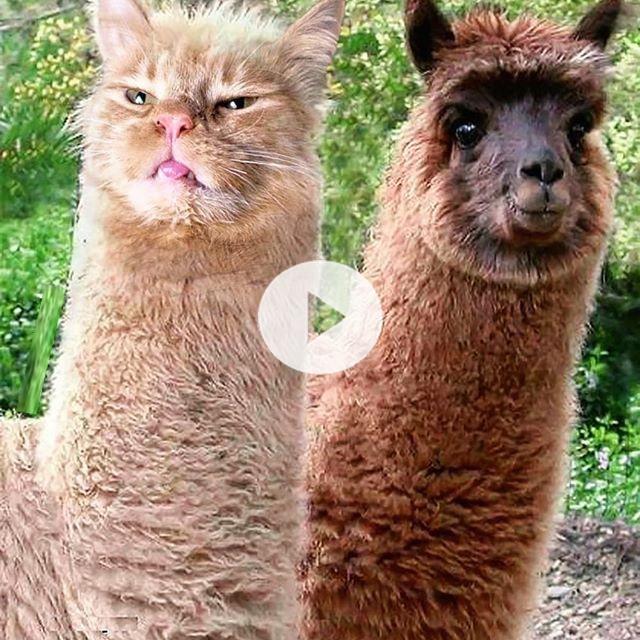 #cats #catsofinstagram #catsagram #strange #thing #Photoshop #meme #memes #catmeme #funnycats #humor #юмор #kotyvezde #cats_of_instagram #catsofworld #catlover #alpaca #alpacas #llama #llamas #альпака #лама #fluffy #fluffycat
