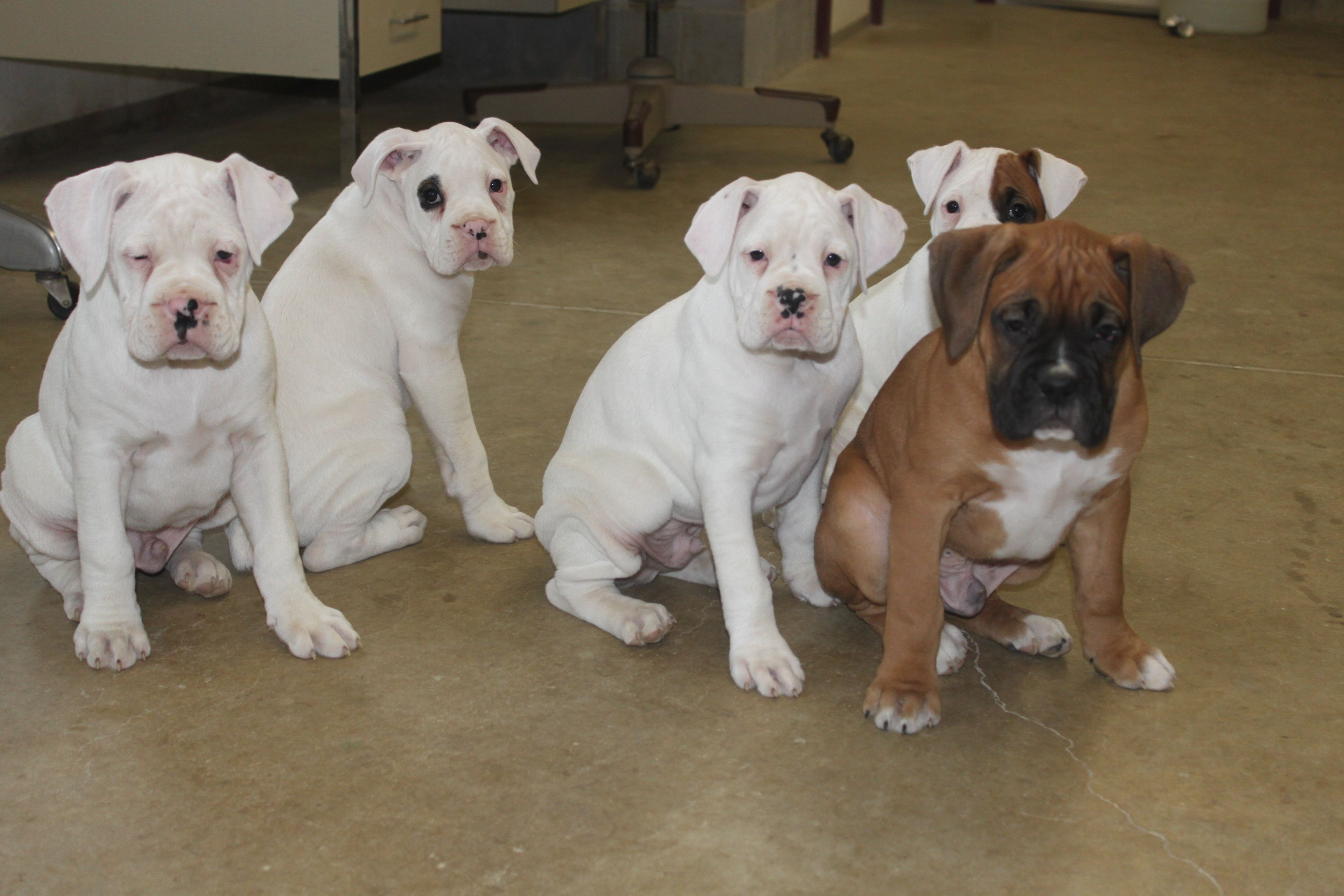Boxer puppies here is a litter posted at Boxer puppies