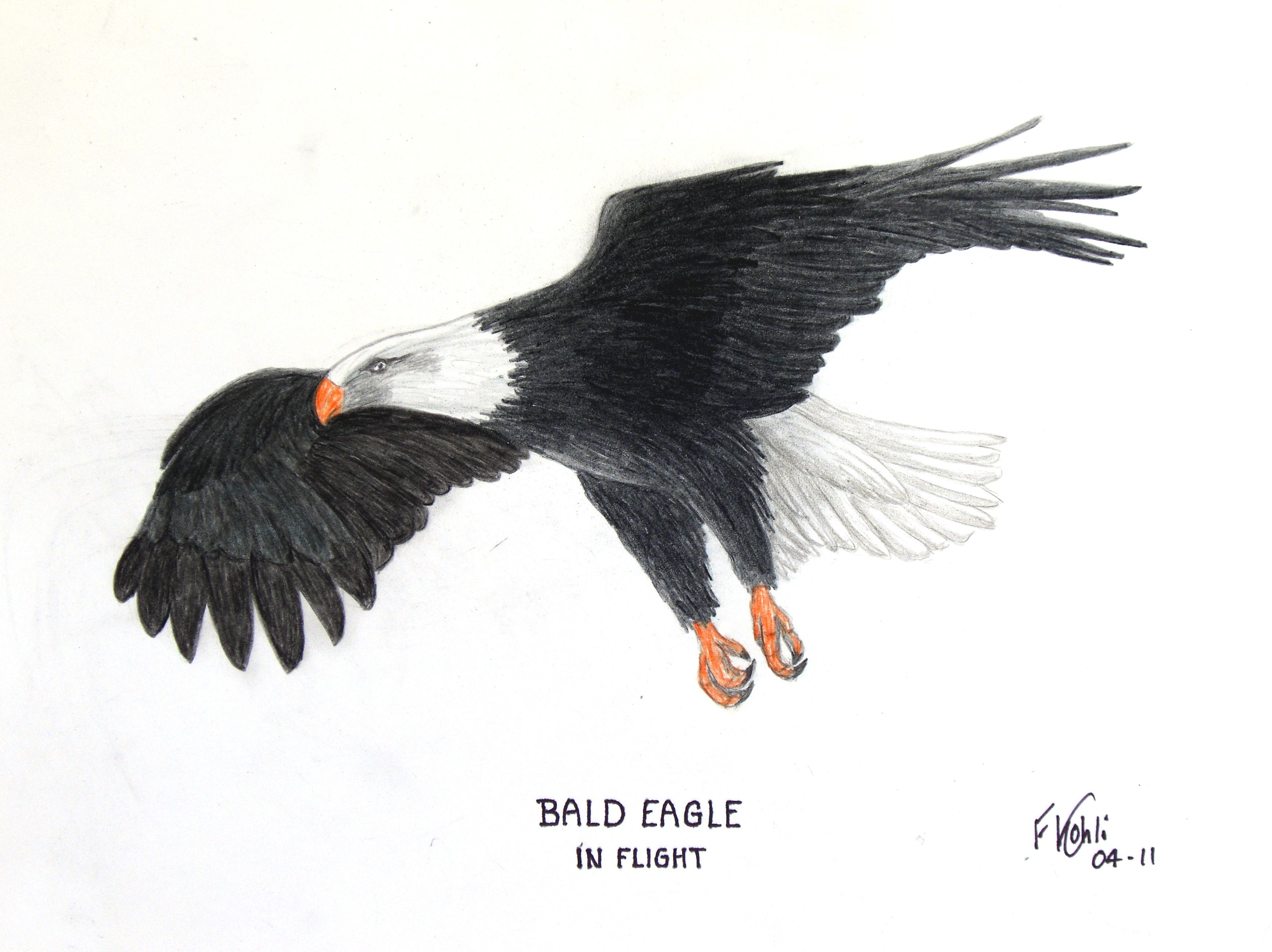 bald eagle in flight colored pencil drawing for prints go to
