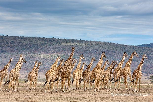 La Galerie - Christine et MichelDenis Huotphotographes animaliers - - girafe masai - 20383