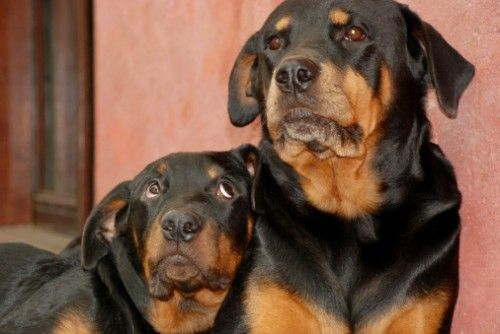 Three Rottweilers Die In Hot Car In Oregon The Dogington Post
