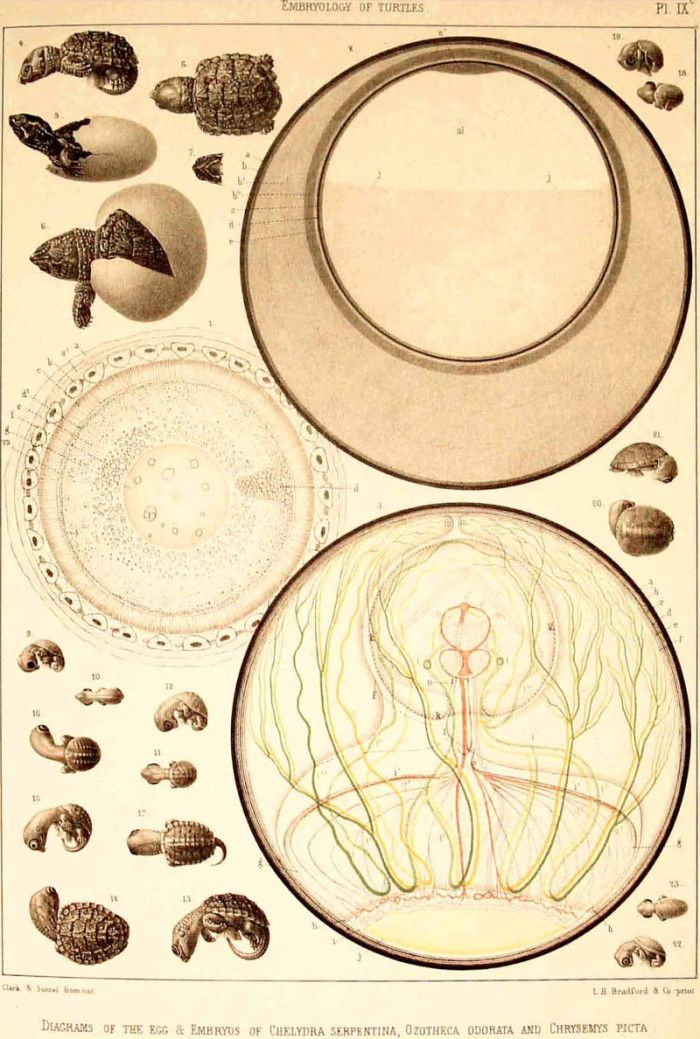 Diagrams Of The Egg And Embryos Of Chelydra Serpentina Ozotheca