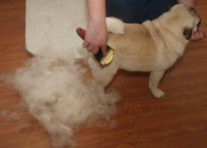 Reducing Pug Shedding Pug Pals Inc Pugs Pug Information