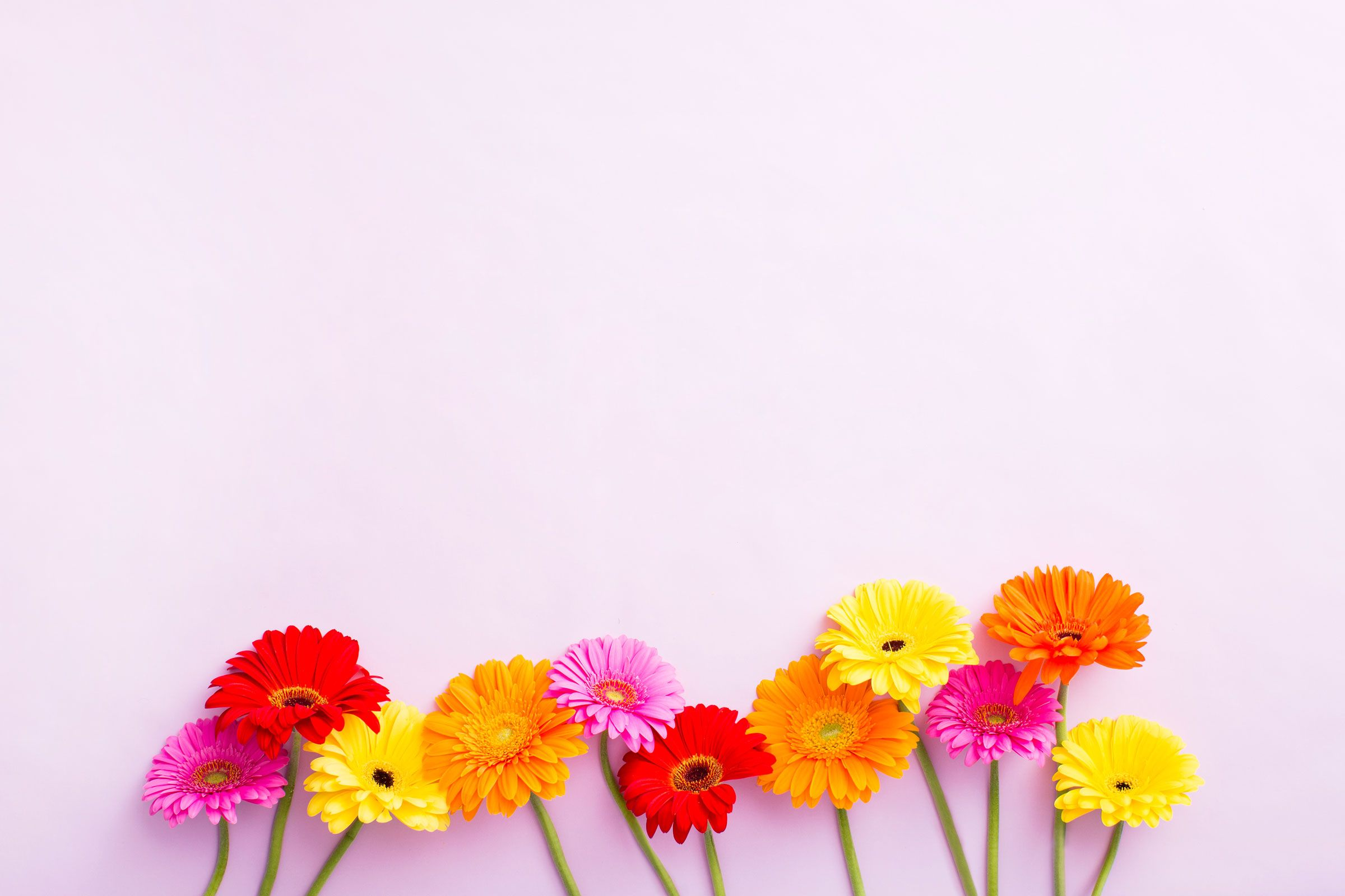 Blush pink yellow floral gerbera desktop wallpaper background