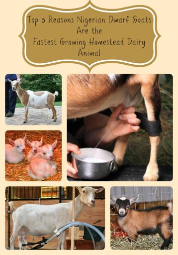 Top 5 Reasons Nigerian Dwarf Goats Make Great Homestead Livestock