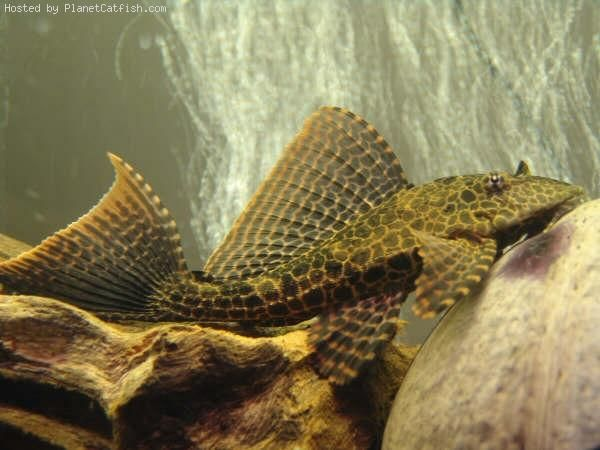 A Guide For Purchasing Plecos And Other Loricariids
