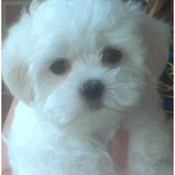 Maltipoo Puppy Rescue Maltipoo Breeders In Central Texas