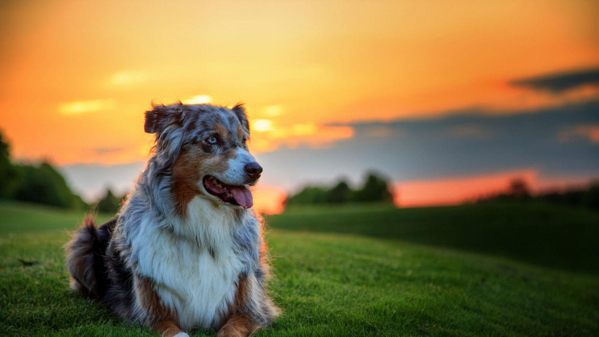 1920x1080 1920x1080 Wallpaper Australian Shepherd Dog Aussie Dog Grass Sunset Aussie Dogs Dog Wallpaper Dog Pictures Wallpaper cute pet dog sunset house