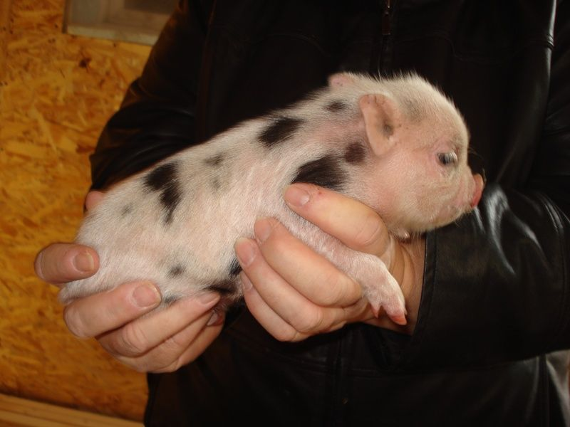 How Much Does It Cost To Get A Pig Fixed