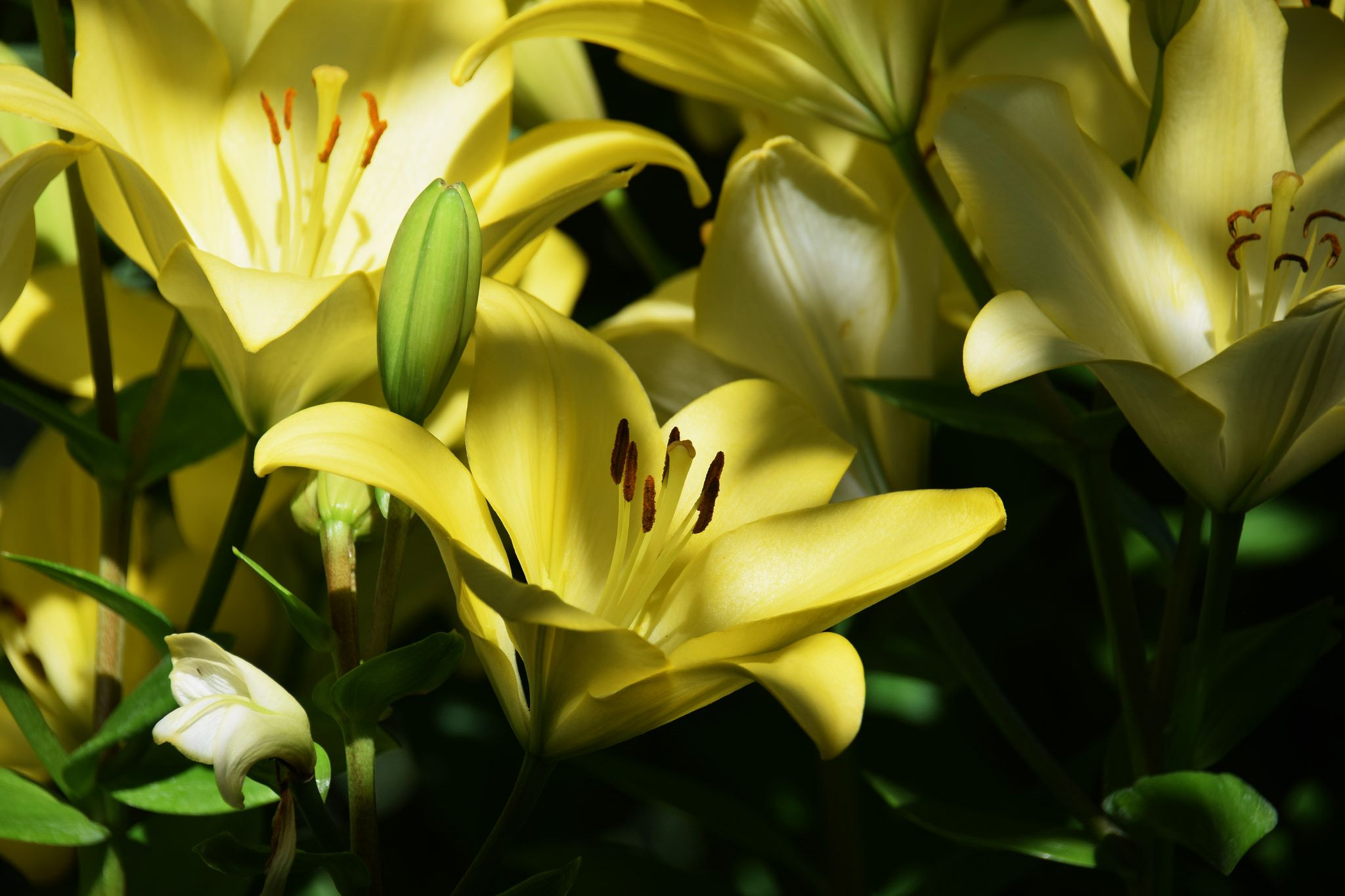 Yellow lilies flowers lily garden