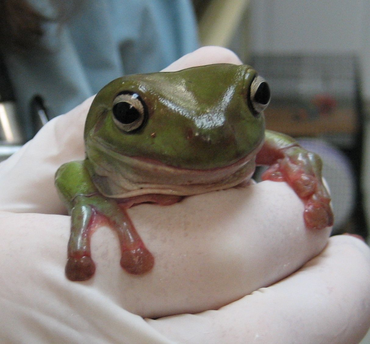Tree frogs of the office white s tree frog general care of tree frogs of the office white s tree frog general care of pooptronica