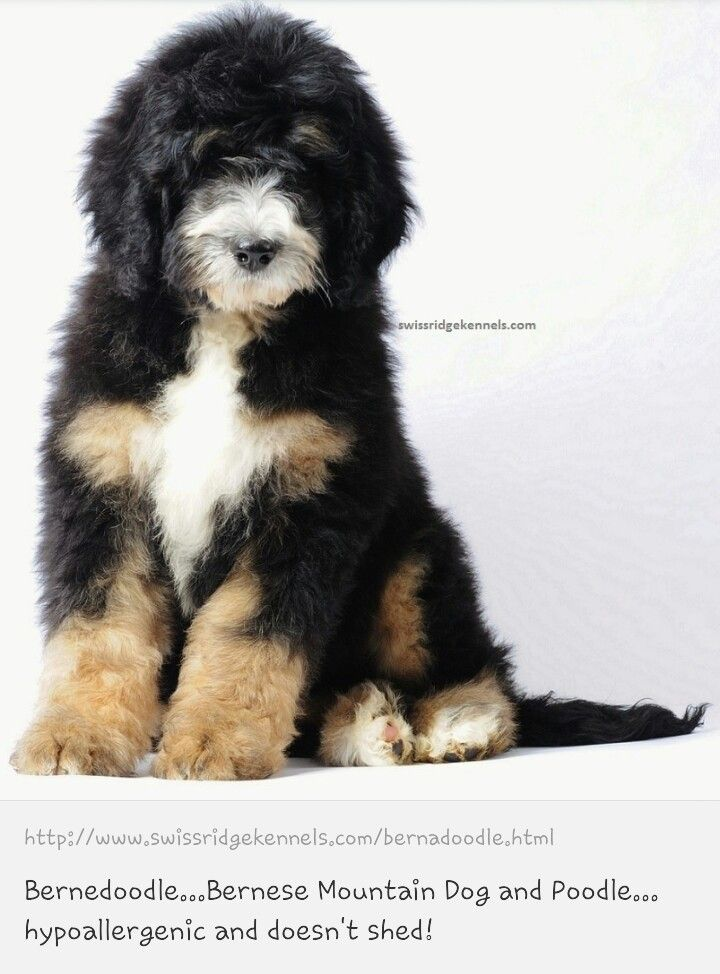 Bernedoodle I Love Mixed Breeds But Not The Price Tag