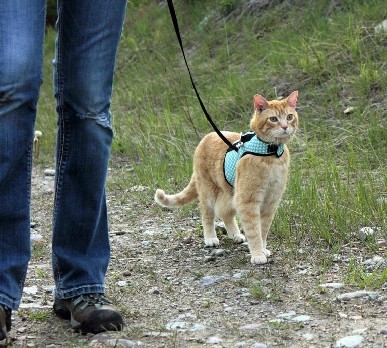 Should I Walk My Cat 5 Reasons Walking Cats Is Awesome Cat Training Calming Cat Cat Walk