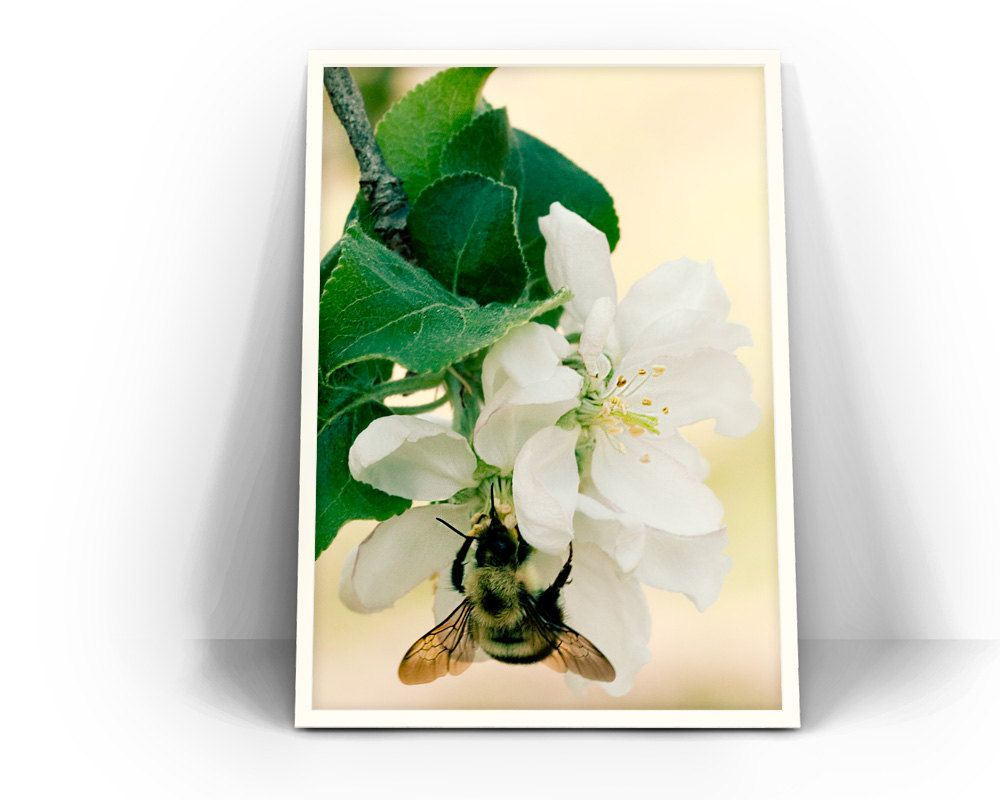 Bumblebee and Apple Blossom Photograph - fine art photography ...