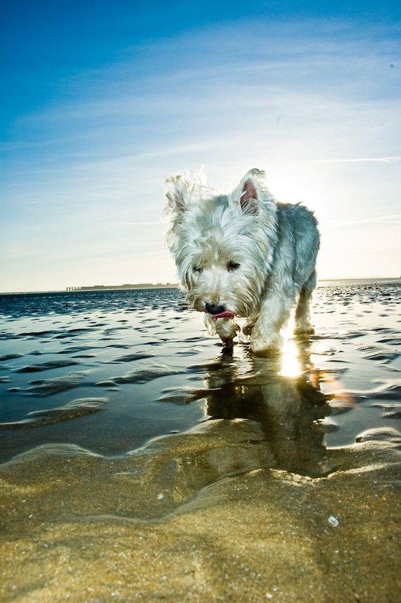 I Am Crumpet 2 Westie West Highland Terrier Dog Photo