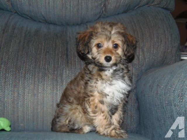 For Sale Mandy Is A Ckc Registered Female Toy Miniature Aussiedoodle Mandy Has Been Vet C Kennel Hounds Dogs And All Kinds Of Cats